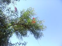 Ceibo or seibo flower on a branch. Erythrina crista-galli  flower on a tree branch with speleo sky background in summer Stock Images