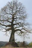 Ceibo tree, Bahia Ecuador Stock Photography