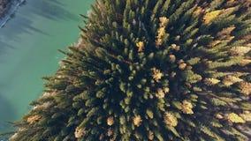 Ceinture de forêt avec les arbres coniféres jaunis parallèles à la rivière de montagne banque de vidéos