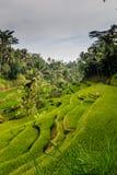 Cekin / Tegalalang Rice Terraces Royalty Free Stock Photo