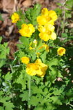Celadine Poppy Royalty Free Stock Image