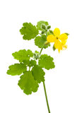 Celandine Royalty Free Stock Photos
