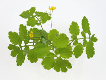 Celandine, Royalty Free Stock Image