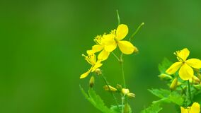 Celandine blooming in the forest