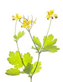 Celandine (Chelidonium) Stock Photos