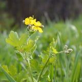Celandine Chelidonium majus flowers, buds and leaves Royalty Free Stock Photo