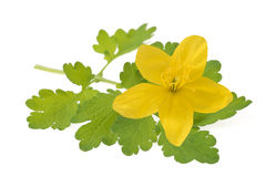 Celandine Chelidonium majus Stock Photo
