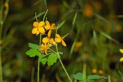 Celandine. In a clearing grow medicinal herb celandine Stock Image