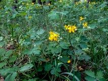 Celandine cura selvagem da planta com flores amarelas Fotos de Stock