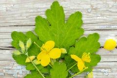 Celandine del Chelidonium hierba del celandine con las flores y las hojas que mienten en superficie de madera fotografía de archivo libre de regalías