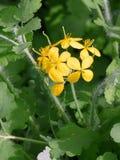 Celandine di fioritura. fotografie stock libere da diritti