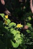 Celandine floreciente, majus del Chelidonium, mayor celandine, nipplewort, swallowwort o tetterwort en el bosque encendido por imagen de archivo libre de regalías