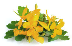 Celandine flowers stock image