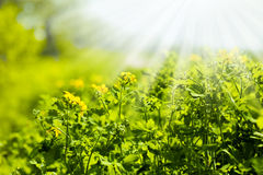 Celandine flowers field Royalty Free Stock Photo
