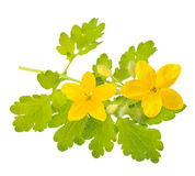 Celandine Stock Photography