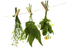 Celandine herbs nettle. Herbs hanging upside-down isolate on the white Royalty Free Stock Photos