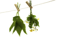 Celandine herbs nettle. Herbs hanging upside-down  isolate on the white Stock Photos