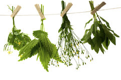 Celandine herbs nettle   mint. Herbs hanging upside-down  isolate on the white Royalty Free Stock Images