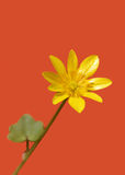 Celandine Royalty Free Stock Photography
