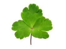 Celandine leaf Royalty Free Stock Images