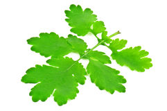 Celandine leaf Stock Photos