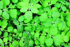 Celandine. Leaves of celandine with drops of water, top view Royalty Free Stock Photography