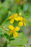 Celandine May Royalty Free Stock Images