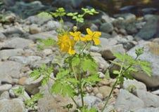 Celandine medicinal 6 de la hierba fotografía de archivo libre de regalías