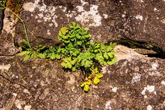 Celandine, medicinal herb on a medieval wall. Of an abbey in Germany Stock Image