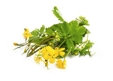 Celandine medicinal plant isolated Stock Photo