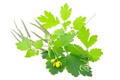 Celandine plant Royalty Free Stock Image