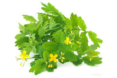 Celandine plant Stock Photography