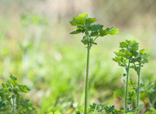 Celandine plant jungle Stock Photography