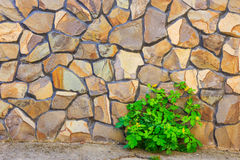Celandine plant and stone wall Royalty Free Stock Image