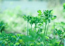 Celandine plant tuft Royalty Free Stock Images