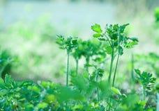 Celandine plant tuft. Botanic gardening nature image: greater celandine (tetterwort, sanguinaria canadensis, nipplewort, swallowwort, Chelidonium majus) young Royalty Free Stock Images