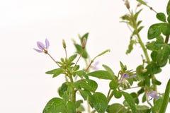 Free Celandine Spider Flower, Spider Flower Cleome Rutidosperma DC. Stock Images - 82960624