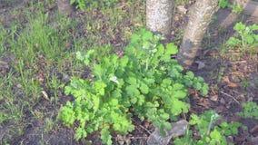 Celandine verde del arbusto almacen de video