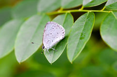 Celastrina Argiolus Also Called Holly Blue Royalty Free Stock Photography