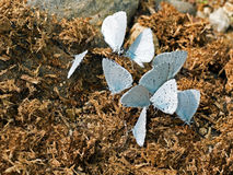 Celastrina argiolus - Holly Blue butterflies feeding on manure. Royalty Free Stock Images