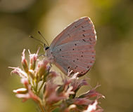 Celastrina argiolus - Holly Blue butterfly Royalty Free Stock Photo