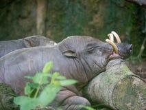 Celebensis van Babyrousa van Sulawesibabirusa Wild het levensdier stock fotografie