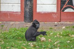 Celebes λοφιοφόρο Macaque στο ζωολογικό κήπο Άμστερνταμ Artis οι Κάτω Χώρες Στοκ εικόνες με δικαίωμα ελεύθερης χρήσης
