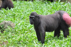 celebes λοφιοφόρο macaque Στοκ φωτογραφίες με δικαίωμα ελεύθερης χρήσης