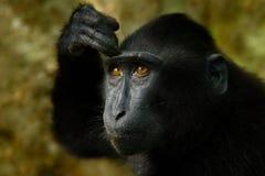 Celebes crested макака, nigra Macaca, черная обезьяна, портрет детали, сидя в среду обитания природы, темный тропический лес, wil стоковое изображение rf