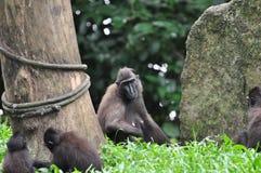 Celebes Crested il macaque Fotografia Stock Libera da Diritti