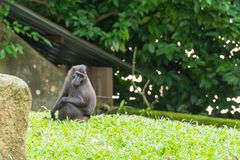 Crested macaque while sitting on a grass field. Celebes crested macaque, also known as the crested black macaque or the black ape is an Old World monkey that Stock Photos
