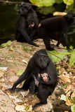 Celebes crested macaque Royalty Free Stock Photography