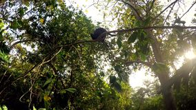 Celebes crested macaque on tree. Celebes crested macaque, black monkey on tree with sun light, Sulawesi, Indonesia stock video footage