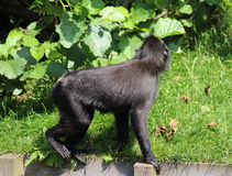 Celebes crested macaque. The Celebes crested macaque climbing in tree.  Foto taken in Blijdorp zoo in Rotterdam, Netherland Stock Photo
